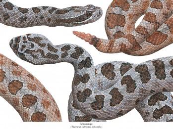 Massasauga - Sistrurus catenatus edwardsi