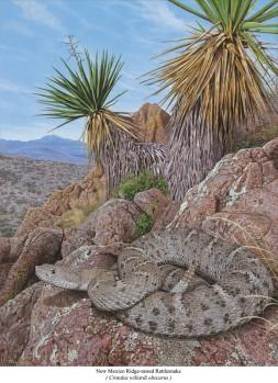 New Mexico- Kantenkopfklapperschlange in situ - Crotalus willardi obscurus in situ