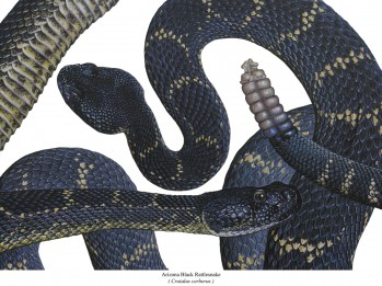 Schwarze Arizona Klapperschlange - Crotalus cerberus