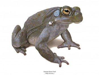 Coloradokröte - Bufo alvarius