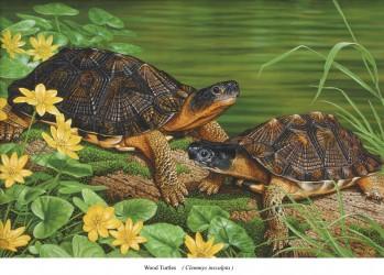 Waldbachschildkröte - Clemmys insculpta
