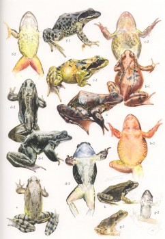 Brown Frogs of Italy