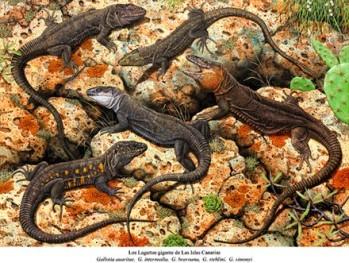 Kanarische Rieseneidechsen. Gallotia auaritae, Gallotia bravoana, Gallotia intermedia, Gallotia simonyi, Gallotia stehlini