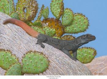 Gewöhnlicher Chuckwalla (Sauromalus ater)