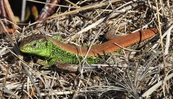 Die Zauneidechse - Reptil des Jahres 2020