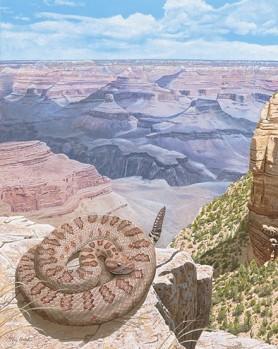 Grand Canyon-Klapperschlange in situ - Crotalus oreganus abyssus in situ