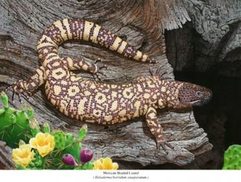 Mexican Beaded Lizard/Skorpionkrustenechse  – Heloderma horridum exasperatum