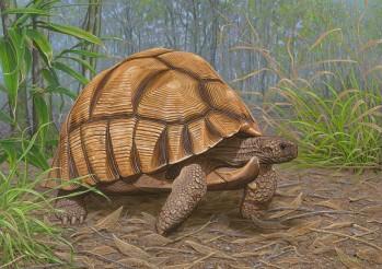 Madagassische Schnabelbrustschildkröte (Astrochelys yniphora)