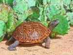 Westliche Schmuck-Dosenschildkröte (Terrapene ornata luteola)