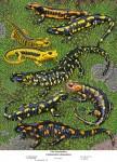 Fire Salamander – Feuersalamander
