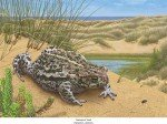 Kreuzkröte (Epidalea calamita)
