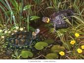 Moorschildkröte - Clemmys muhlenbergi