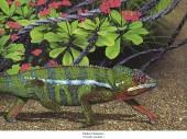 Pantherchamäleon - Furcifer pardalis