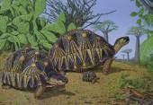 Strahlenschildkröte - Astrochelys radiata
