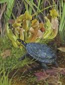 Tropfenschildkröte - Clemmys guttata
