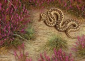 Kreuzotter - Vipera berus