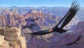 Kalifornischer Kondor - Gymnogyps californianus