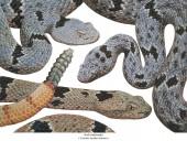Gebänderte Felsenklapperschlange - Crotalus lepidus klauberi