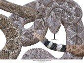 Texas-Klapperschlange - Crotalus atrox