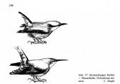 Etho-Ökologische Untersuchungen an verschiedenen Kleiberarten (Sittidae) - Eine Vergleichende Zusammenstellung