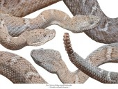 New Mexico- Kantenkopfklapperschlange - Crotalus willardi obscurus