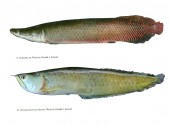 Checklist of the Freshwater Fishes of the Guiana Shield