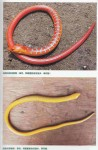 Amphibians and Reptiles in Tibet - Diversity and Evolution