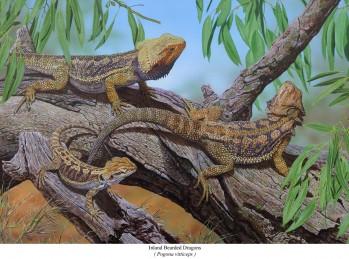 Inland Bearded Dragons - Pogona vitticeps