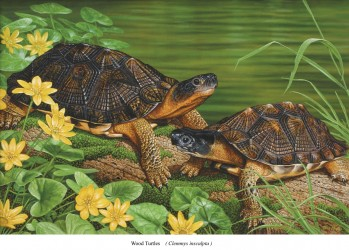 The wood turtles - Clemmys insculpta