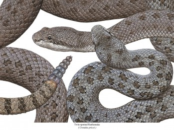 Twin-spotted Rattlesnake - Crotalus pricei