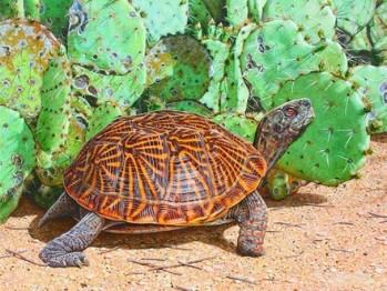 Desert Box Turtle (Terrapene ornata luteola)