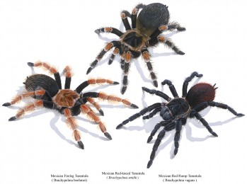 Tarantulas of Mexico – Mexican Fireleg Tarantula (Brachypelma boehmei), Mexican Red-kneed Tarantula (Brachypelma smithi), Mexican Red Rump Tarantula (Brachypelma vagans)