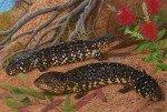 Shingleback Skinks (Tiliqua rugosa aspera)