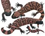 Gila Monster/Gila-Krustenechse  – Heloderma suspectum