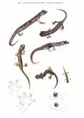 Geotritoni d'Italia – Cave Salamanders of Italy